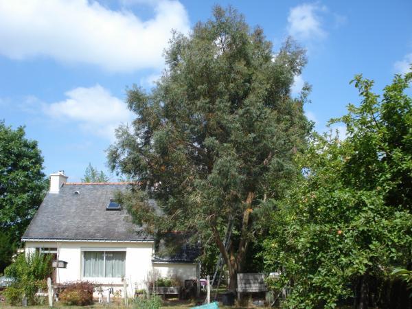 élagage eucalyptus